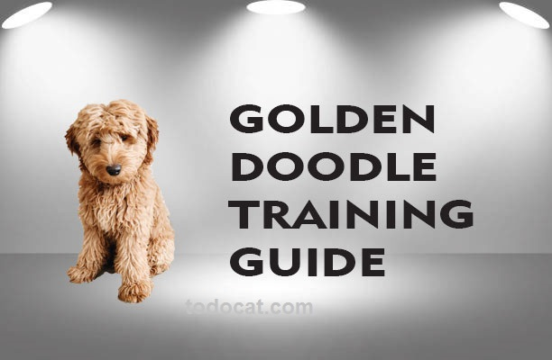 Read more about the article how to train a golden doodle