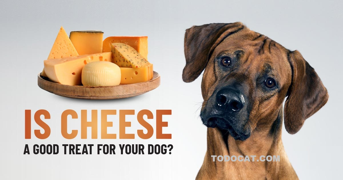 Read more about the article Can dogs eat cheese?