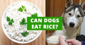Read more about the article Can dogs eat rice?
