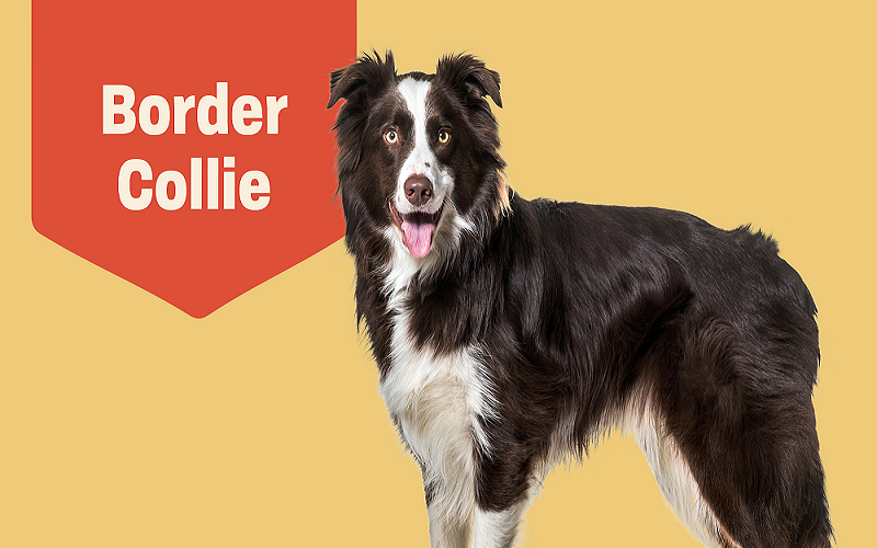 Read more about the article Border Collie: Everything you need to know