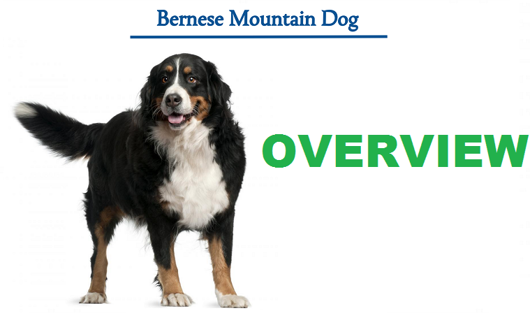 Read more about the article Bernese mountain dog: Everything you need to know