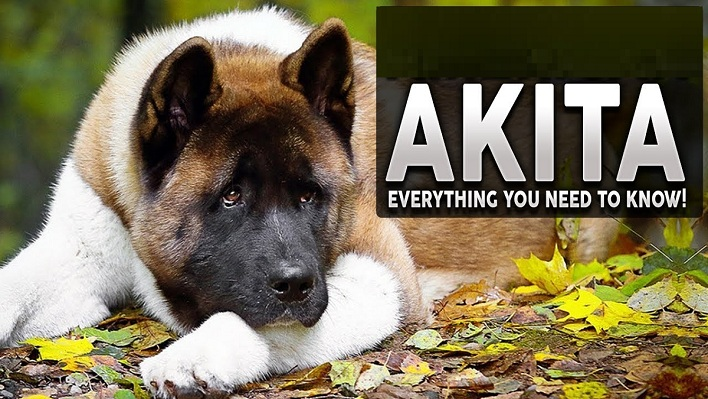 Read more about the article Akita dog breed: Everything you need to know